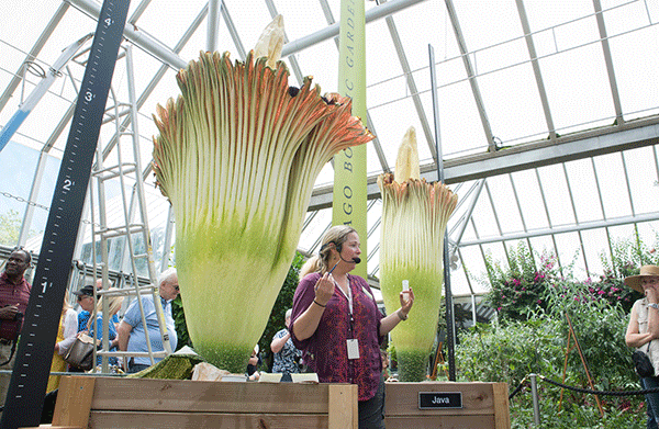 Pati Vitt pollinates our second titan arum bloom, Sumatra