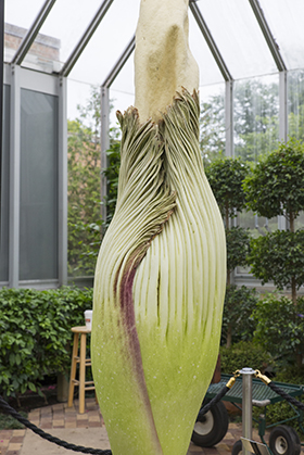 PHOTO: A titan arum flower, prebloom, looking ready to open.