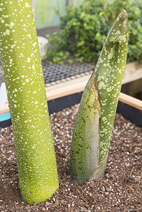 PHOTO: Titan arum stalk and bud.