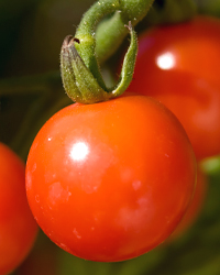 Tomato Plant Health
