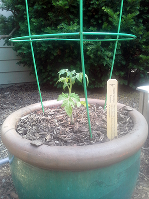 Seedling tomato in a tomato cage.