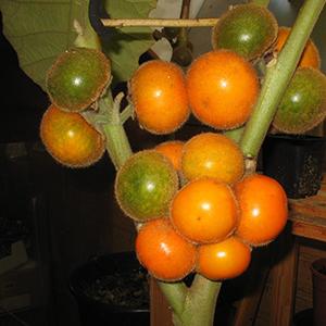 Naranjilla, or lulo (Solanum quitoense)