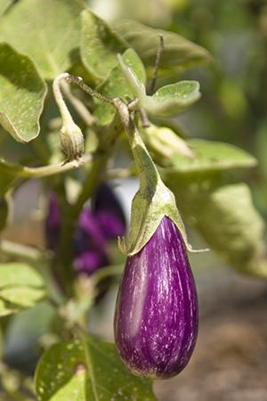 Hansel eggplant (Solanum melongena 'Fairy Tale')