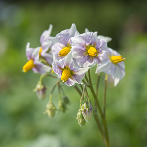 Solanum tuberosum 'Desiree' potato in bloom