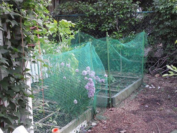 Bird netting over tomato plants in the garden