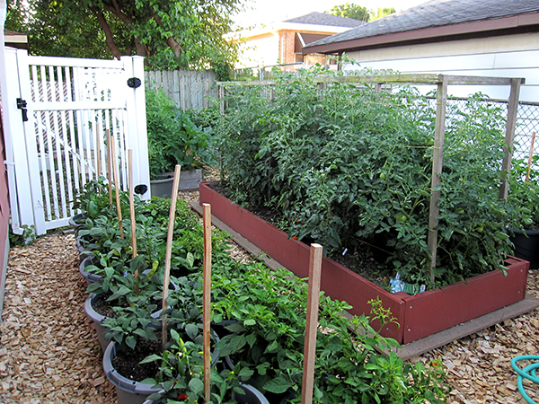 A healthy urban garden with raised beds and peppers grown in pots