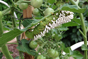 Hornworm caterpillar parasitized by braconid wasps