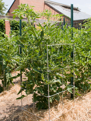 Square tomato cages offer a larger footprint for your plant, and fold easily for storage.
