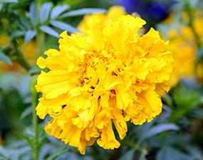 Tagetes erecta 'Crackerjack' marigold