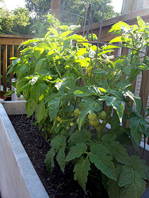 Tomatoes grown in a wood trough container