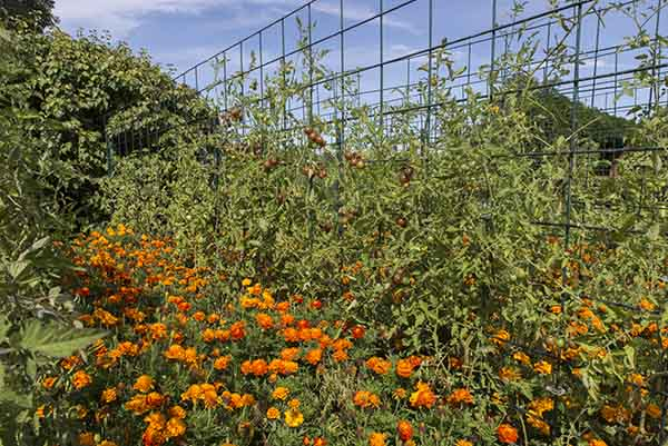 Trellised tomatoes benefit from support throughout the season, but especially once fruit begins to ripen.