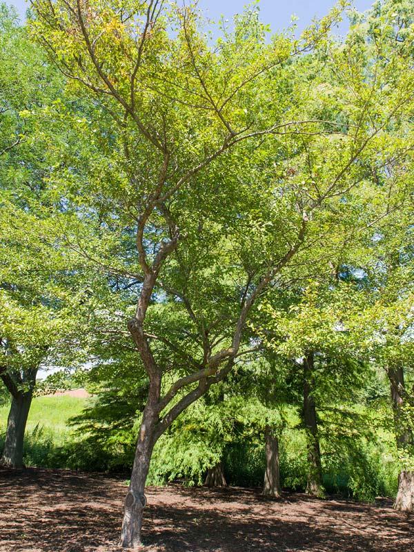 Winter King Green Hawthorn Chicago Botanic Garden