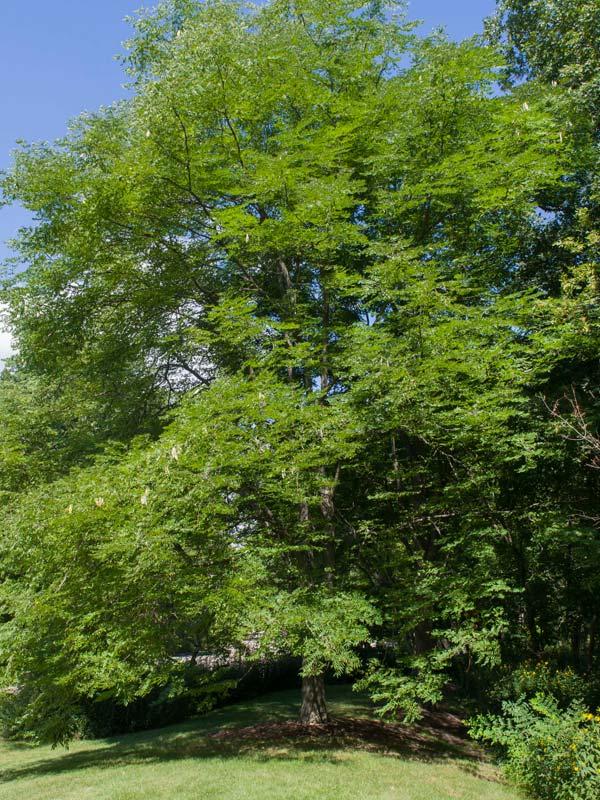 Kentucky Coffeetree Chicago Botanic Garden