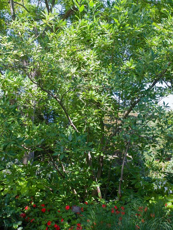 Sweetbay Magnolia Chicago Botanic Garden