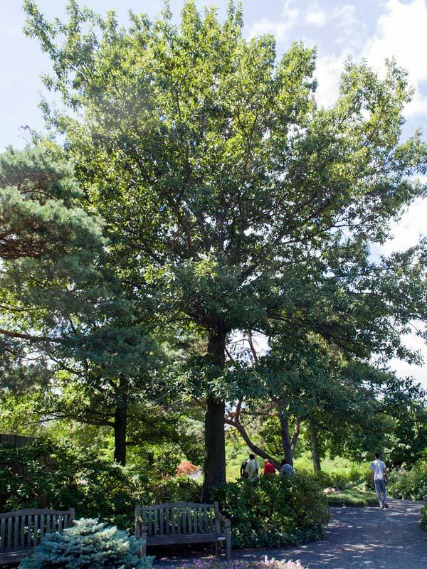 Shingle Oak Chicago Botanic Garden