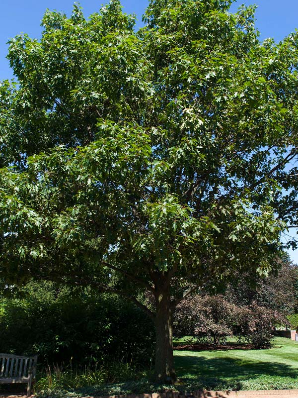 Red Oak Tree ~ Red oak chicago botanic garden