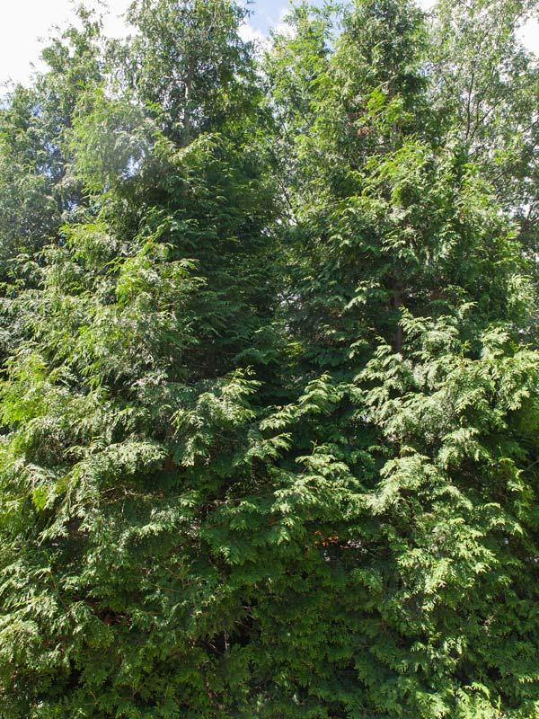 Green Giant Arborvitae Chicago Botanic Garden