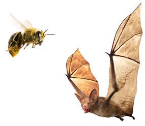 A honeybee and a bat