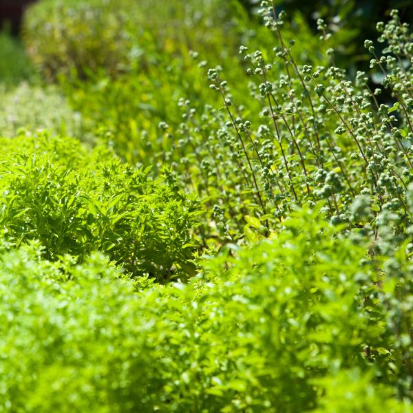 Herb Gardening Information