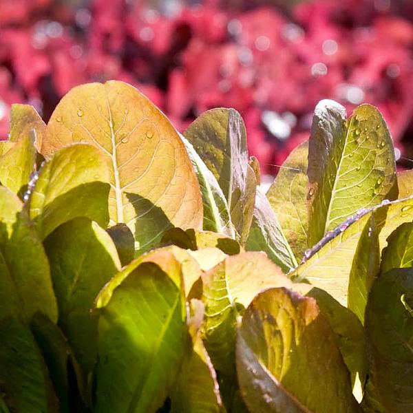 Leafy Green Gardening Information