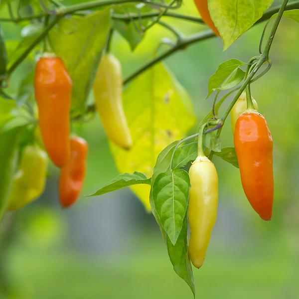 Pepper Gardening Information