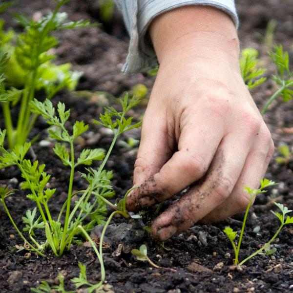 Victory Gardens - Planting