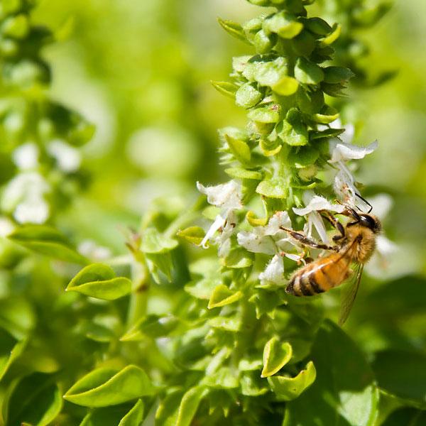 Victory Garden - Pollinators