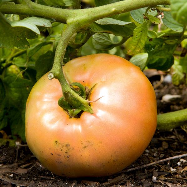 Tomato Gardening Information