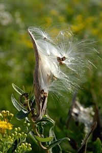 PHOTO: milkweed pod