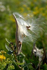 PHOTO: milkweed pod
