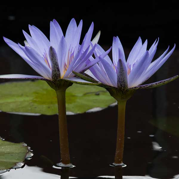 Nymphaea 'Blue Beauty'