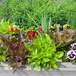 Edible Landscapes and Containers