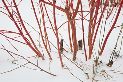 PHOTO: Winter pruning dogwood