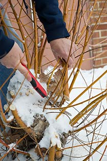 PHOTO: Pruning willow