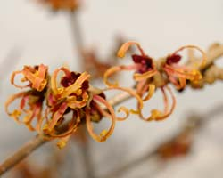 Witch hazel January