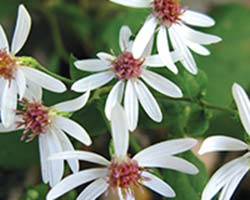 Woodland Aster