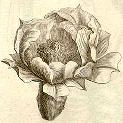 Opuntia illustrated in Institutiones rei herbariae