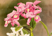 Orchidpalooza: Illustrated Orchid Varieties