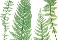 Pteridomania: The Victorian Fern Craze
