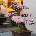 Midwest Bonsai Society Spring Show & Sale