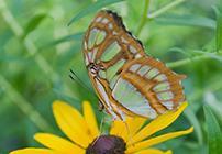 (Siproeta stelenes) Malachite butterfly, a native of Brazil