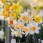 Midwest Daffodil Society Show