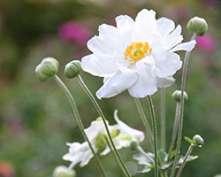 PHOTO: White anemone.