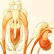 Free Library Talk: Illustrated Orchids in Radiant Color