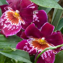 Orchid Show Two Pack 2018