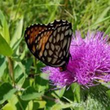 Determining Genetic Limitations to Native Plant Restoration