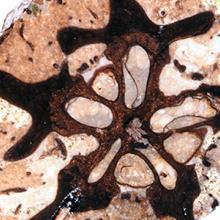 19-million-year-old Spondias (hog plum) fruit from Panama, Central America