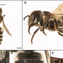 New Non-native Bee Species for State of Illinois
