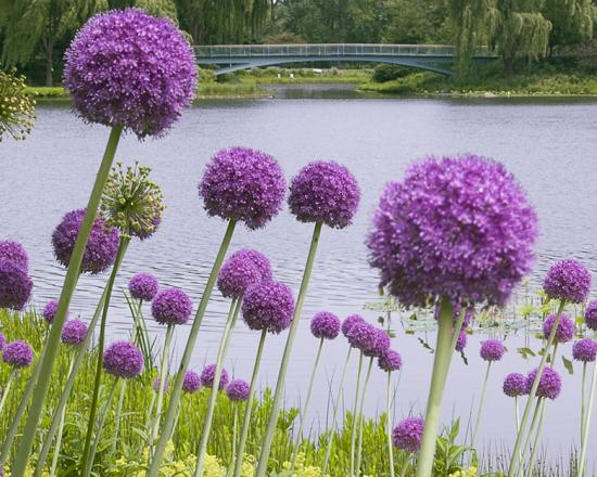 Alliums Chicago Botanic Garden