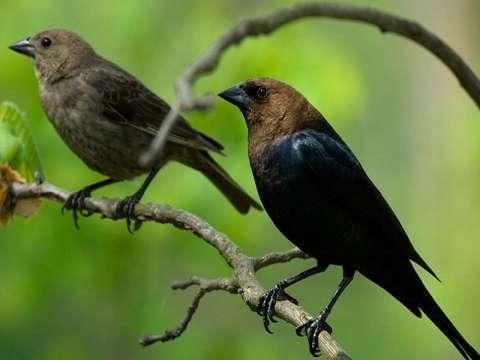Cowbird, Brown-headed
